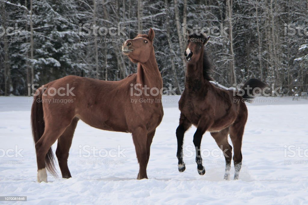 Two Horses Wearing Winter Coats Playing In Snow Covered Paddock Stock Photo Download Image Now Istock