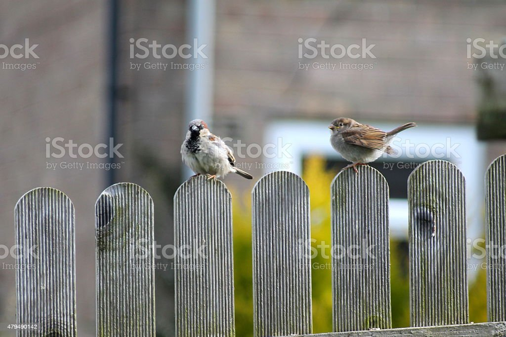 Two house sparrow fledglings sitting on garden fence stock photo