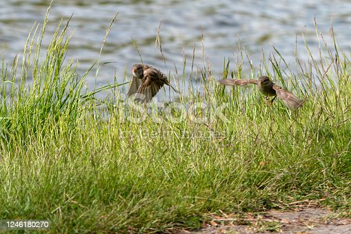 521620252 istock photo Two House sparrows in flight 1246180270