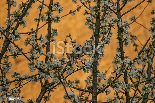 521620252 istock photo Two house sparrows mating on blossom tree 1224504984
