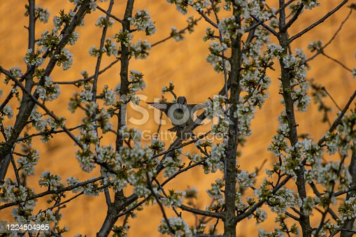 521620252 istock photo Two house sparrows mating on tree 1224504985