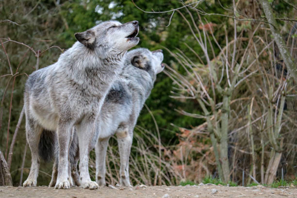 two howling wolfs in northern germany - lupo foto e immagini stock