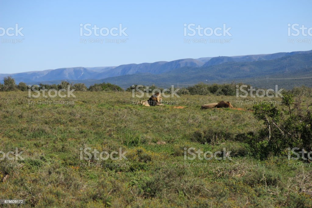 Two huge male lion rest at Addo elephant park stock photo