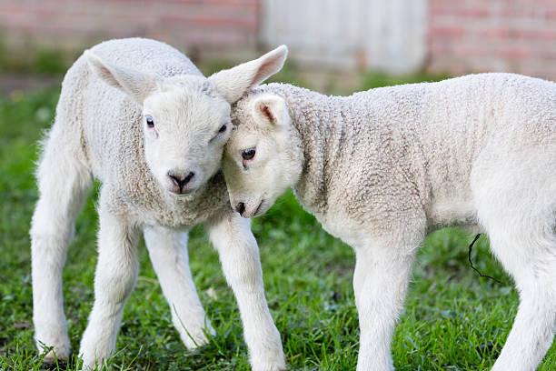 zwei liebende umarmen und neugeborene lämmer weiß - weißes lamm stock-fotos und bilder