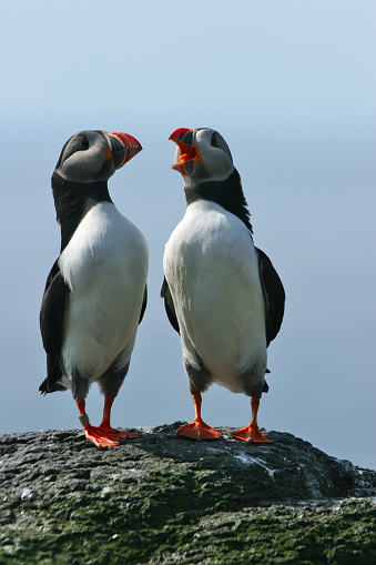 A pair of colorful puffins stand together on a rock by the sea having a conversation in song.