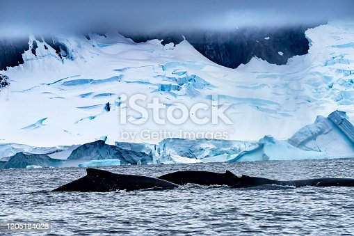 Two Humback Baleen Whales Chasing Krill Blue Iceberg Floating Sea Water Charlotte Bay Antarctic Peninsula Antarctica.  Baleen Whale