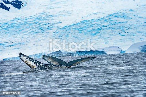 Two Humback Baleen Whales Tails Chasing Krill Blue Sea Water Charlotte Bay Antarctic Peninsula Antarctica