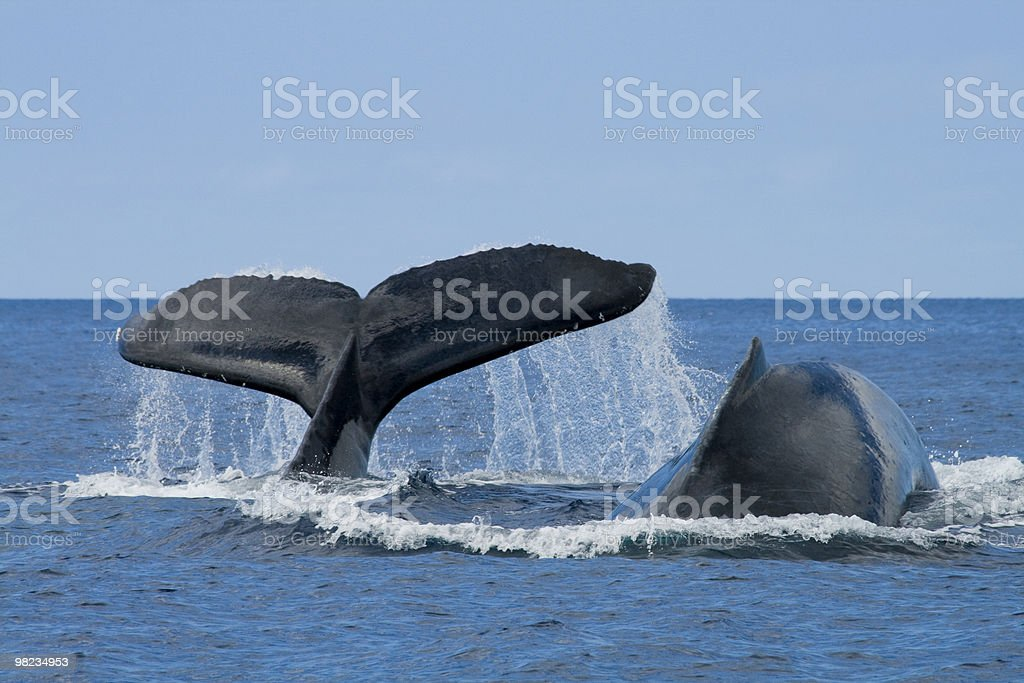 two humpback whales breaching royalty-free stock photo