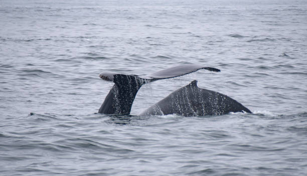 Two Humpback Whales stock photo
