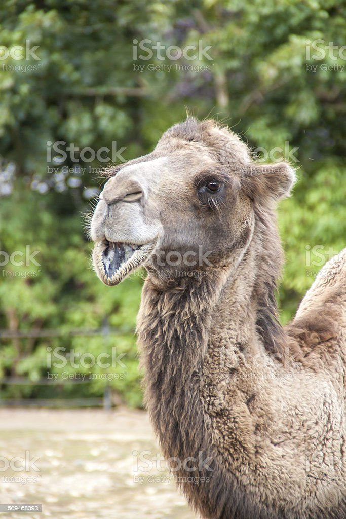 Two Humped Camel smiling royalty-free stock photo
