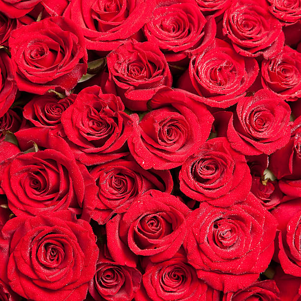 Two hundred and one roses second picture id104271786?b=1&k=6&m=104271786&s=612x612&w=0&h=8vw0giwneebcya4i zplhtaqqycwqzps1m7smz0n 6y=
