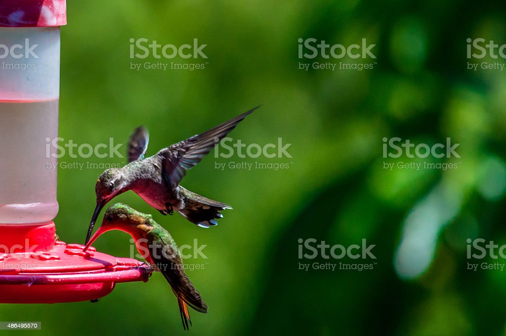 Zwei Hunger Kolibris – Foto