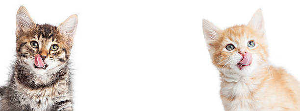 Two Hungry Kittens Horizontal Banner Two cute little hungry kittens with tongues out. Horizontal banner fits popular social media cover placeholder animal tongue stock pictures, royalty-free photos & images