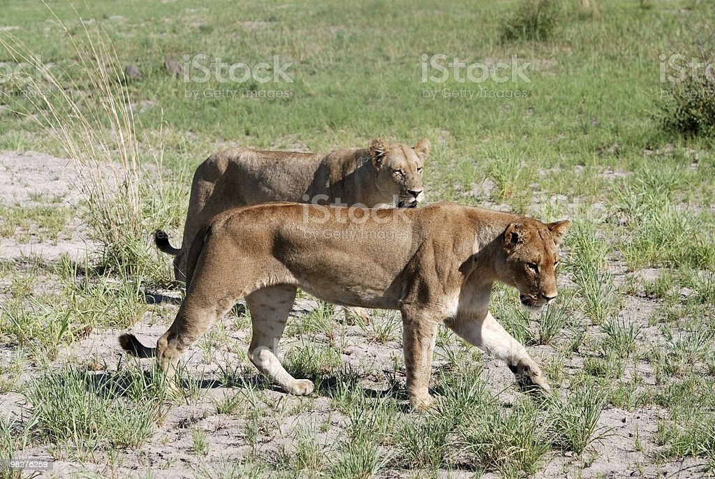 Two hunting lioness royalty-free stock photo