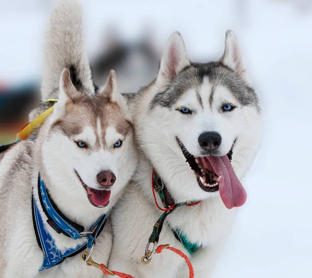 Two husky (Malamutes) dogs in snow on competition The Two husky (Malamutes) dogs in snow on competition malamute stock pictures, royalty-free photos & images