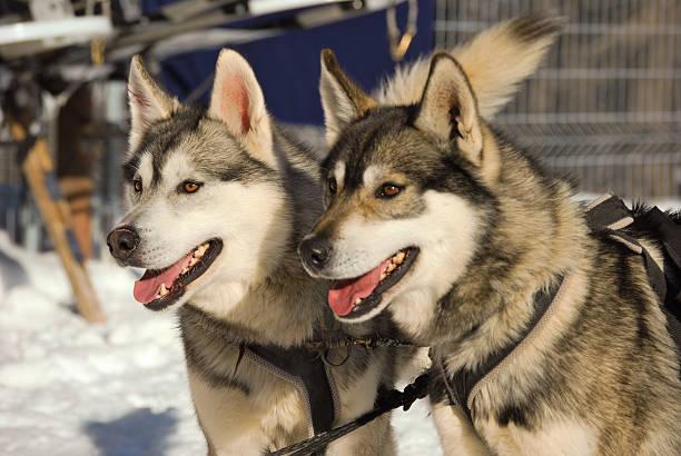 Zwei husky Hund – Foto