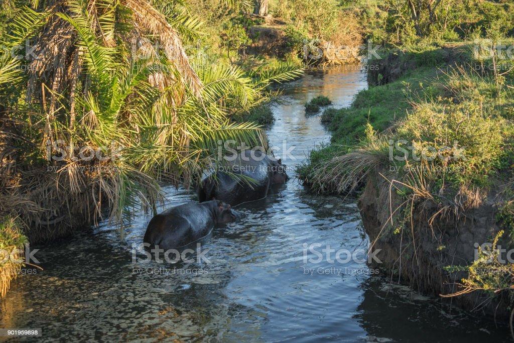 Two hyppos walking along river in Masai Mara in Kenya stock photo