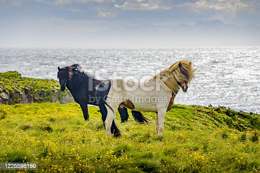 Two Icelandic adult horses standing in meadow field in front of ocean and fjords as beautiful Icelandic Landscape, Iceland, summer