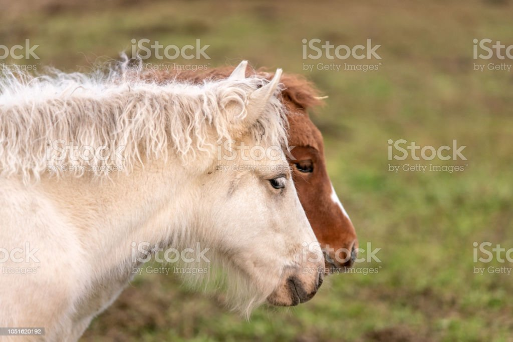 Two Icelandic horse foals stock photo