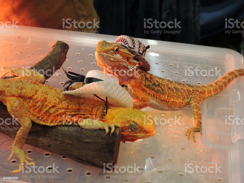 Two iguana wearing cowboy hat. stock photo