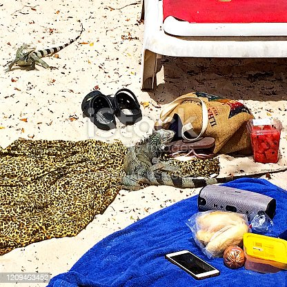 Playa Porto Mari, Curacao, February 17, 2020: Two Iguanas scavenging for Food amongst items left on their Towels  by Sunbathers.