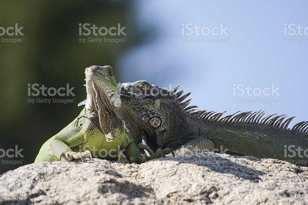 Two Iguanas royalty-free stock photo