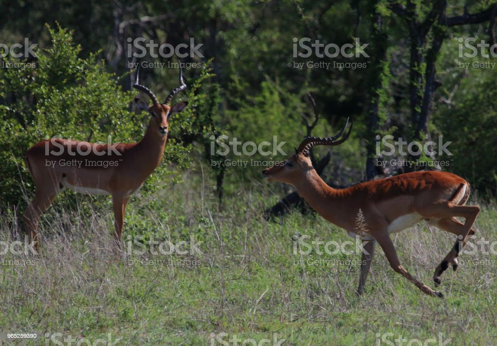 Two Impala - One Running zbiór zdjęć royalty-free