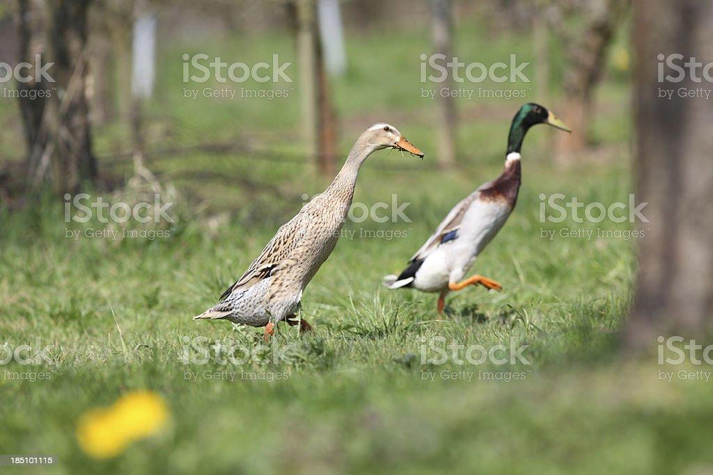 Zwei indische runner-Ente mit Wiese – Foto