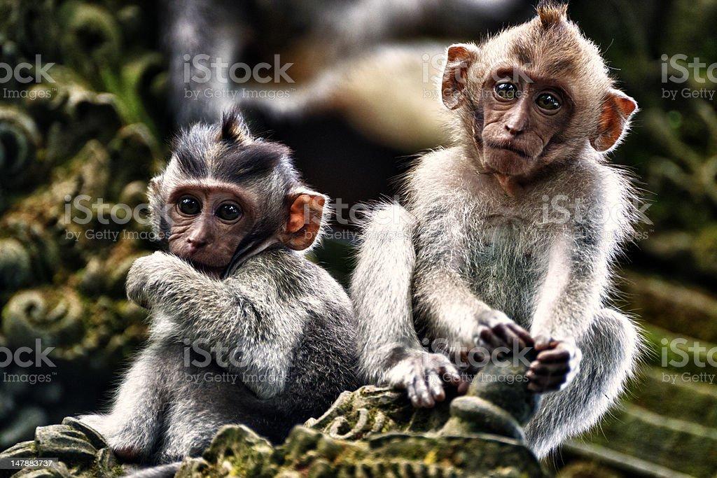 Two Infant Macaque Monkeys stock photo