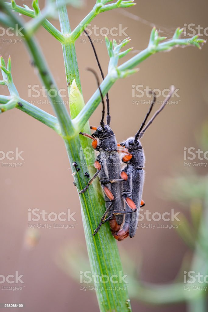 two insect keeping sex for reproduction stock photo