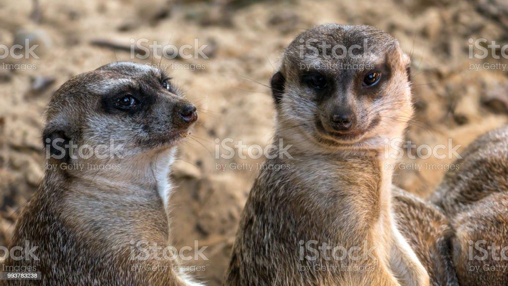 Zwei interessierte Erdmännchen betrachten Sie – Foto