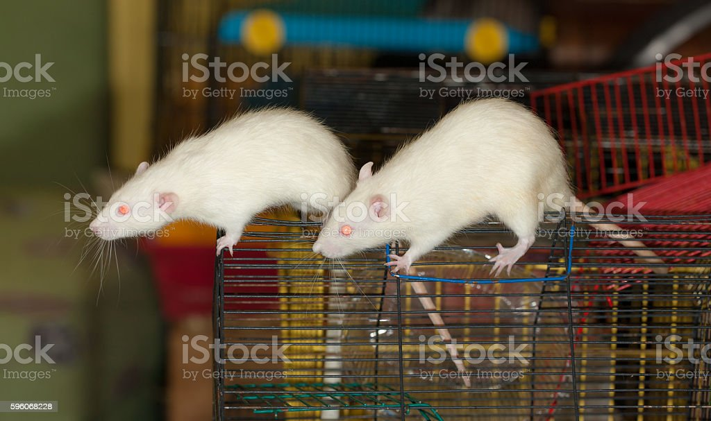 two interesting rat royalty-free stock photo
