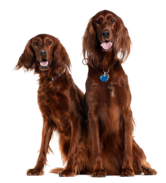 Two Irish Setters sitting in front of white background Two Irish Setters sitting in front of white background irish setter stock pictures, royalty-free photos & images