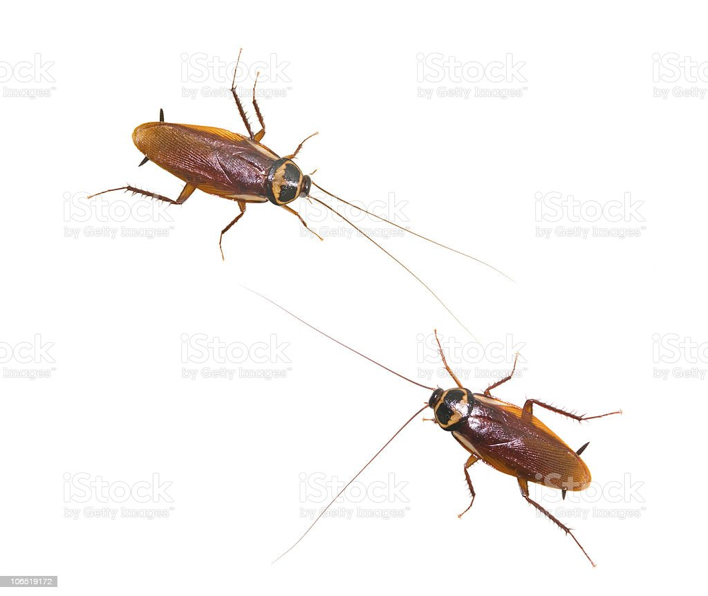 Two isolated cockroach on white background stock photo