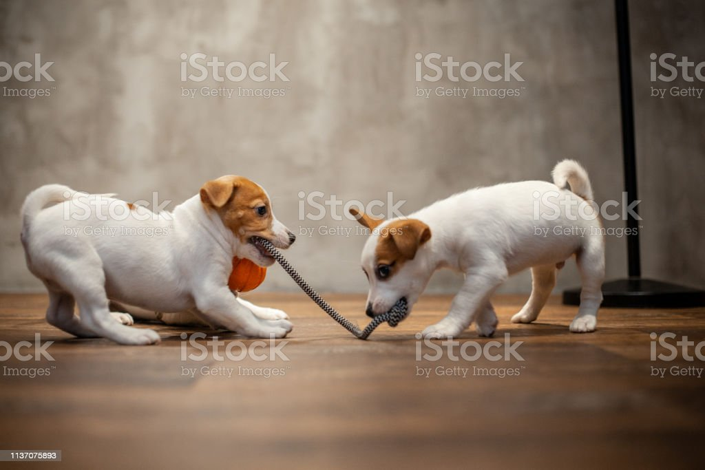Two Jack Russell Terrier Puppies Playing With Each Other