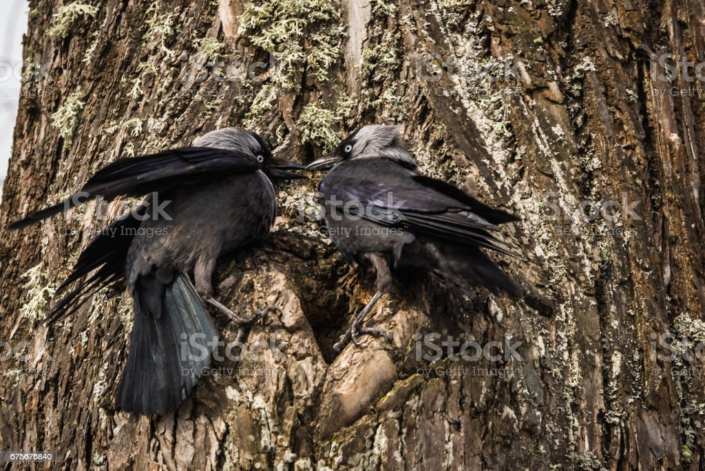 Two jackdows fighting for a hollow in pine tree royalty-free stock photo
