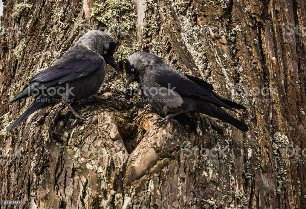 Two jackdows fighting for a hollow in pine tree foto de stock royalty-free