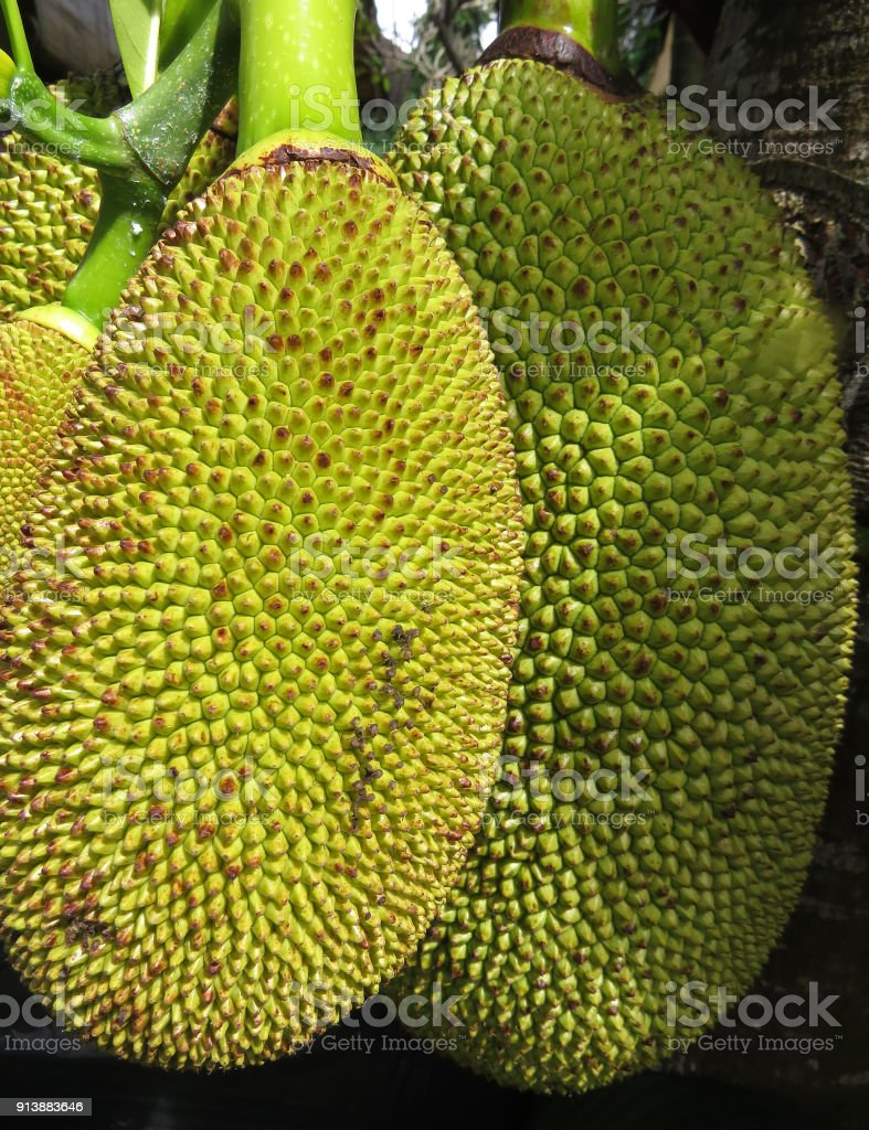 Two jackfruit stock photo