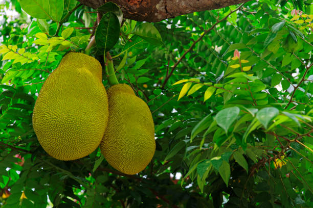 two jackfruits hanging on a tree branch, Artocarpus Heterophyllus stock photo