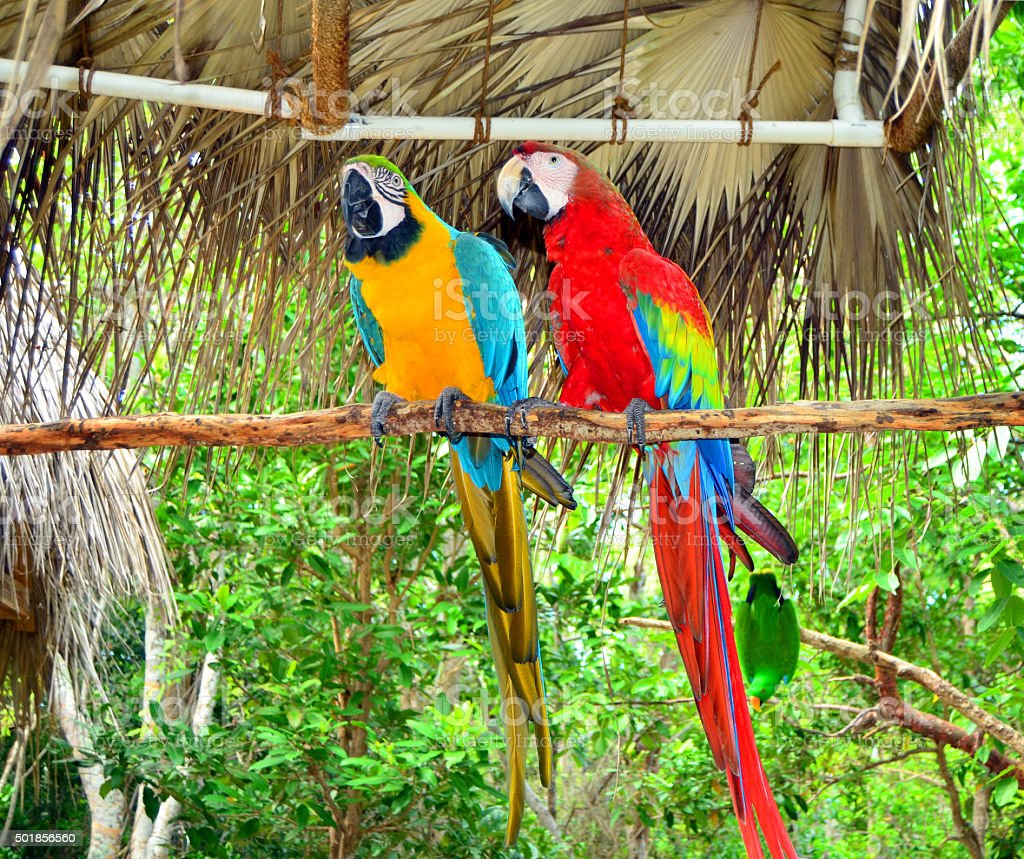 Two Jamaica Parrots stock photo