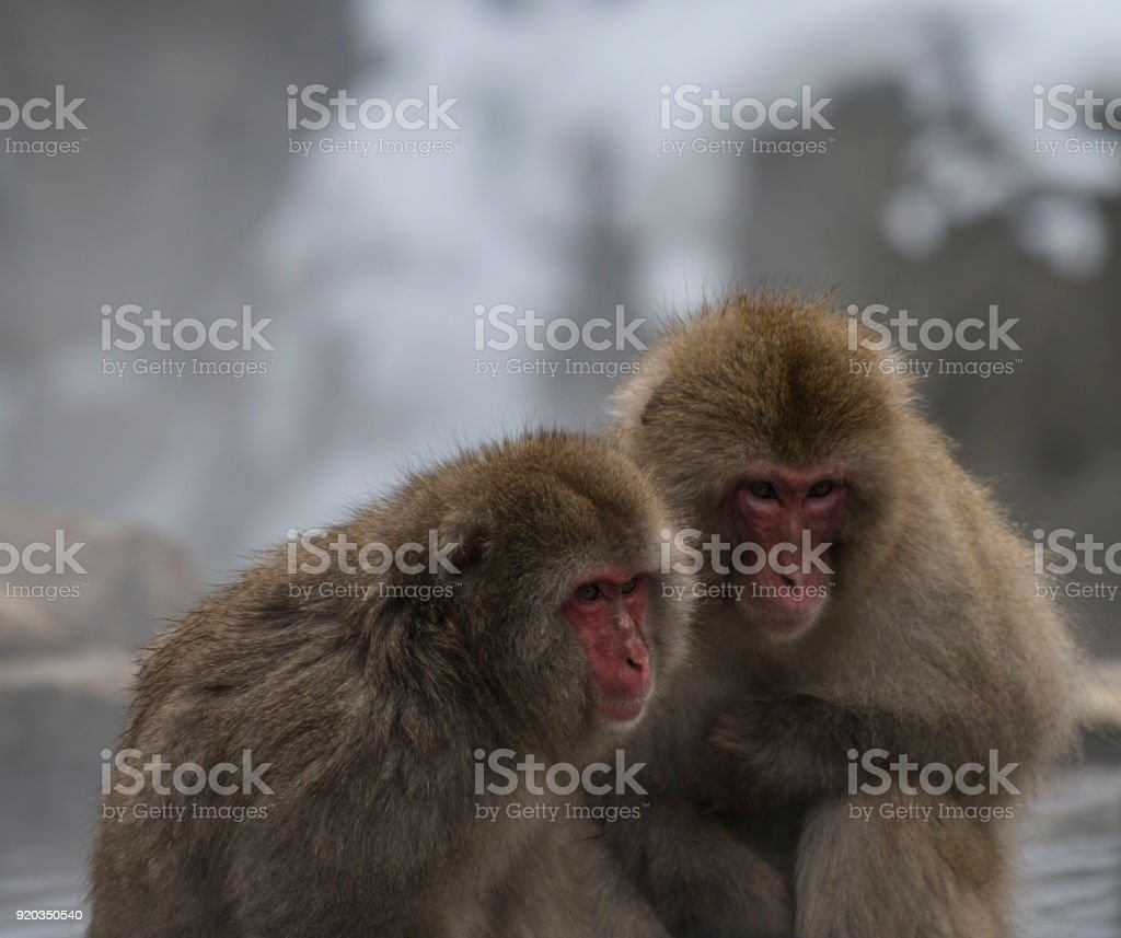 Two Japanese macaque or snow monkeys, , sitting on rock of hot...