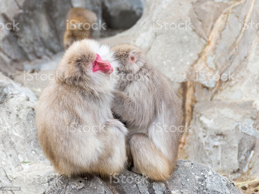two Japanese macaques stock photo