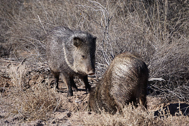 Two Javelinas Digging in the Wild Two Javelinas in digging. This was photographed in New Mexico at the Bosque del Apache National Wildlife Refuge javelina stock pictures, royalty-free photos & images