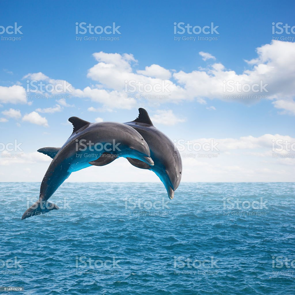 two  jumping dolphins stock photo