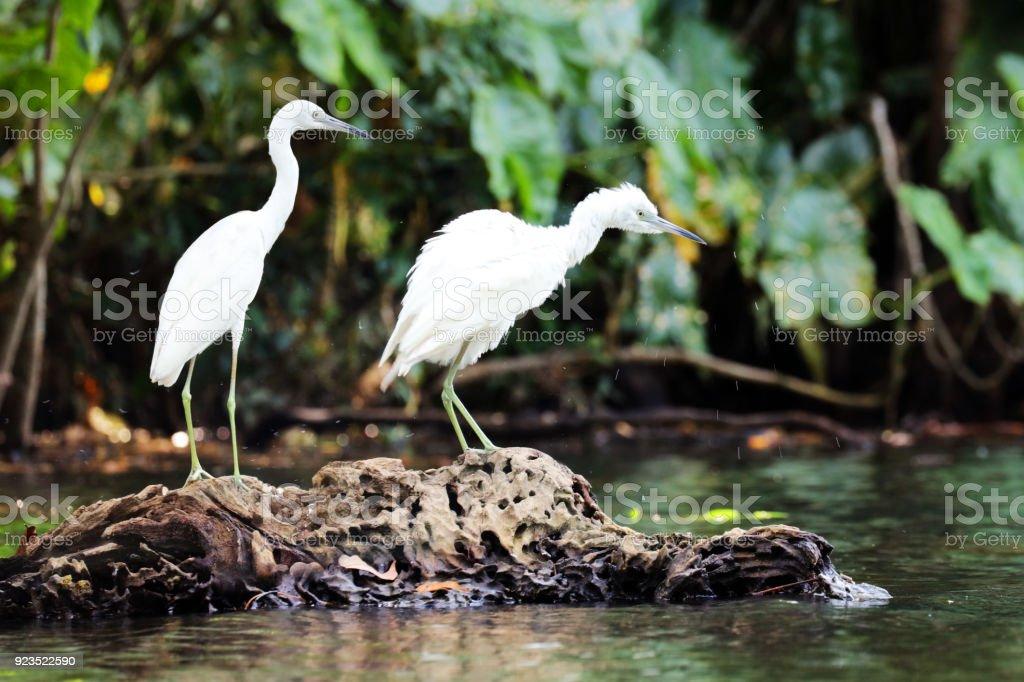 Two juvenile Little Blue Herons , Tortuguero National Park, Costa...