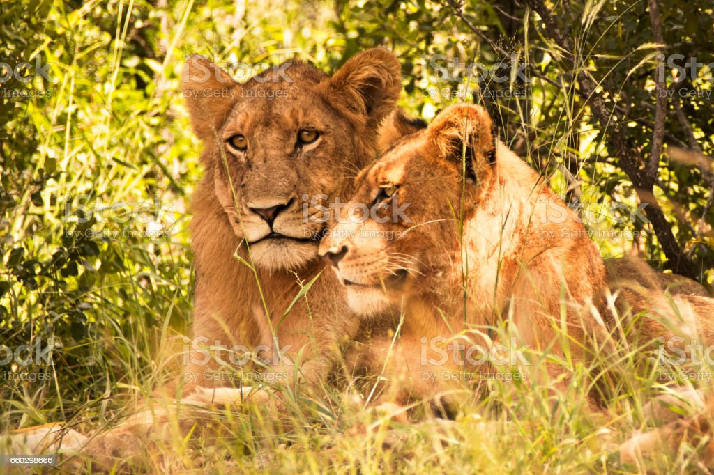 Two juvenile male lions stock photo