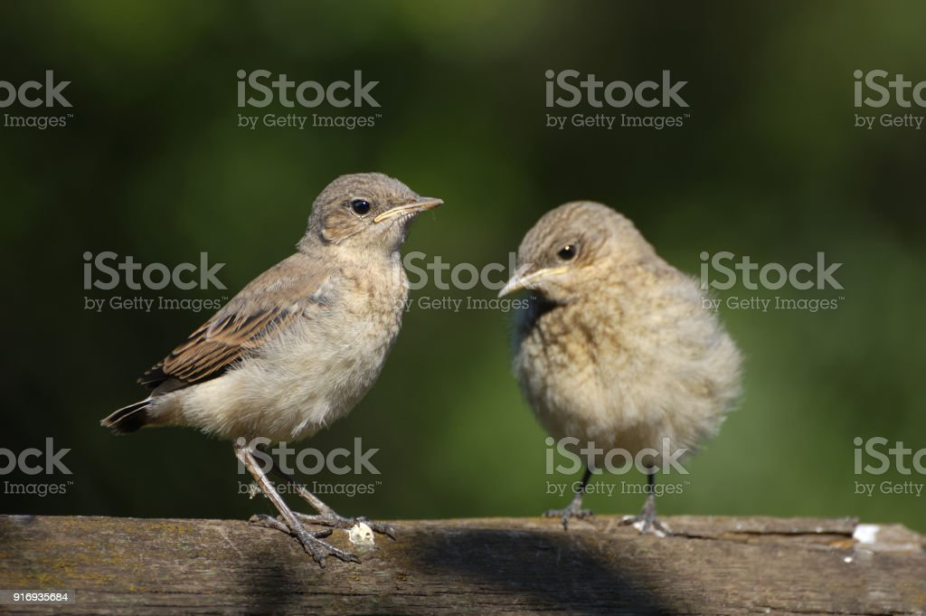 Two Juvenile Northern Wheatears stock photo