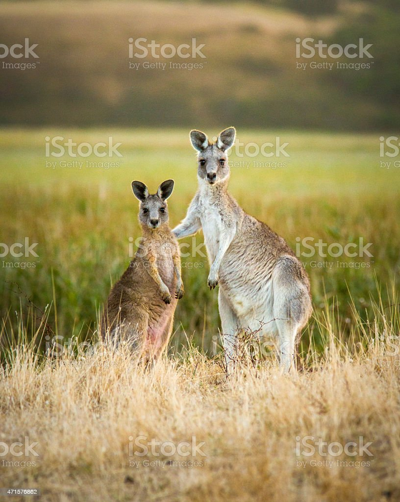 Two Kangaroo friends stock photo