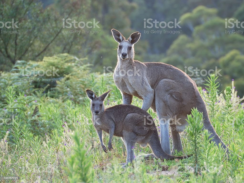 Two kangaroos freely roaming in the bushes stock photo