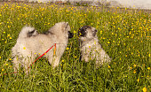 Two keeshond puppies on the green grass among dandelions and buttercups in the rays of the evening sun sniffing flowers